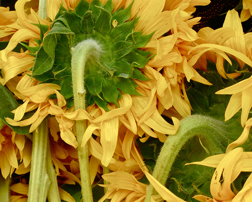 Sunflowers-IMG_3976