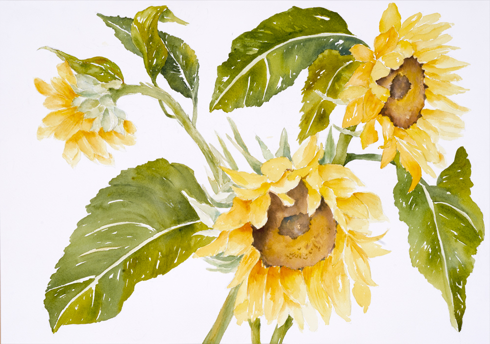 Mary Licause, Sunflower IV, watercolor, 14 x 20 in.